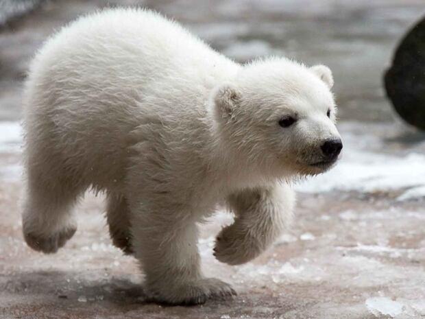 Toronto Juno Polar Bear Cub