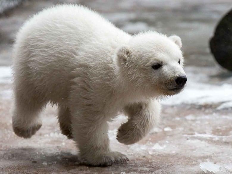 Toronto Zoo polar bear cub Juno shows off for camera