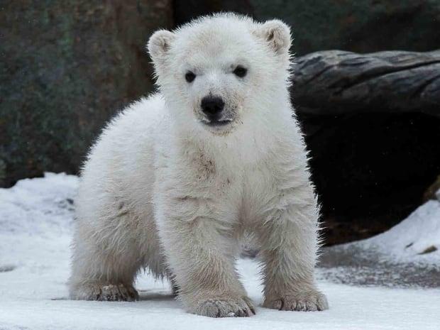 Toronto Zoo Polar Bear Cub Juno