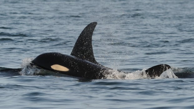 Up to half of newborn orcas do not survive their first year.