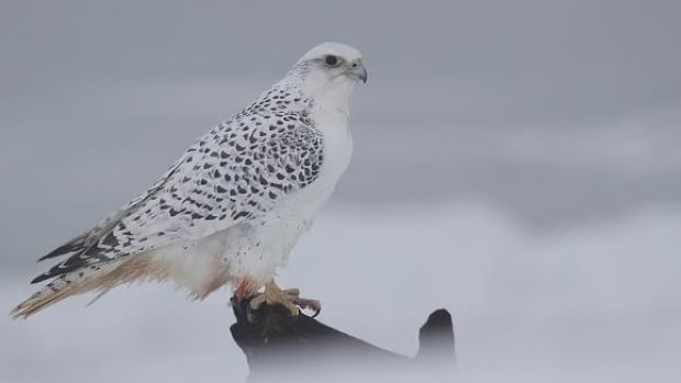 This white gyrfalcon was spotted in Eel River Bar by Ken Reinsborough and photographed by Jim Clifford.