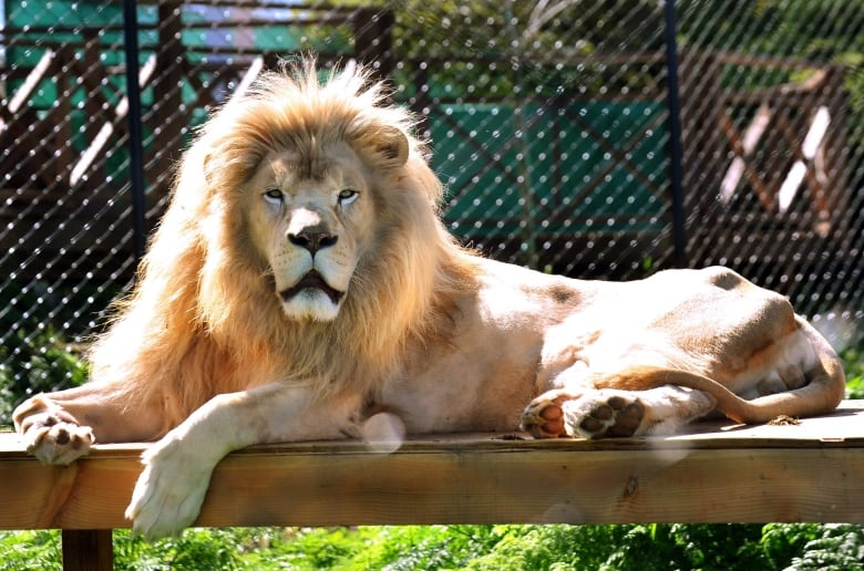 lion shot dead after escaping papanack zoo enclosure cbc. Black Bedroom Furniture Sets. Home Design Ideas