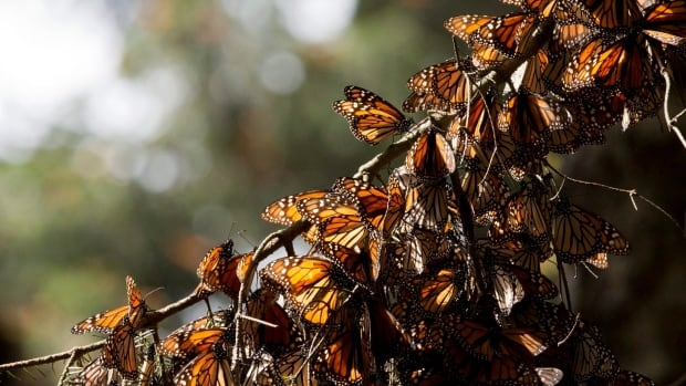 A kaleidoscope of Monarch butterflies hang from a tree branch, in the Piedra Herrada sanctuary, near Valle de Bravo, Mexico in January 2015. This December, the butterflies covered about 10 acres (4 hectares), compared to 2.8 acres (1.13 hectares) in 2014 and a record low of 1.66 acres (0.67 hectares) in 2013.
