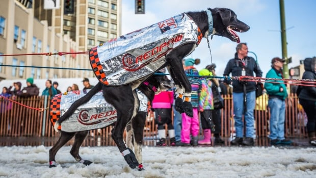 A dog in musher Ken Anderson's team jumps in anticipation of the ceremonial start of the Iditarod sled dog race in Anchorage, Alaska, on Saturday, March 7, 2015. A lack of snow forced race organizers to ship in snow for this year's start.