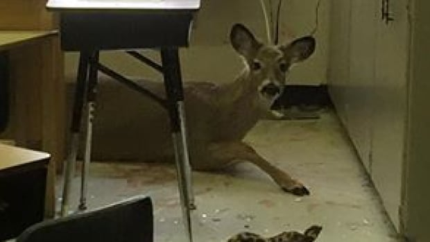 A deer jumped through a window at a school in Saskatchewan.