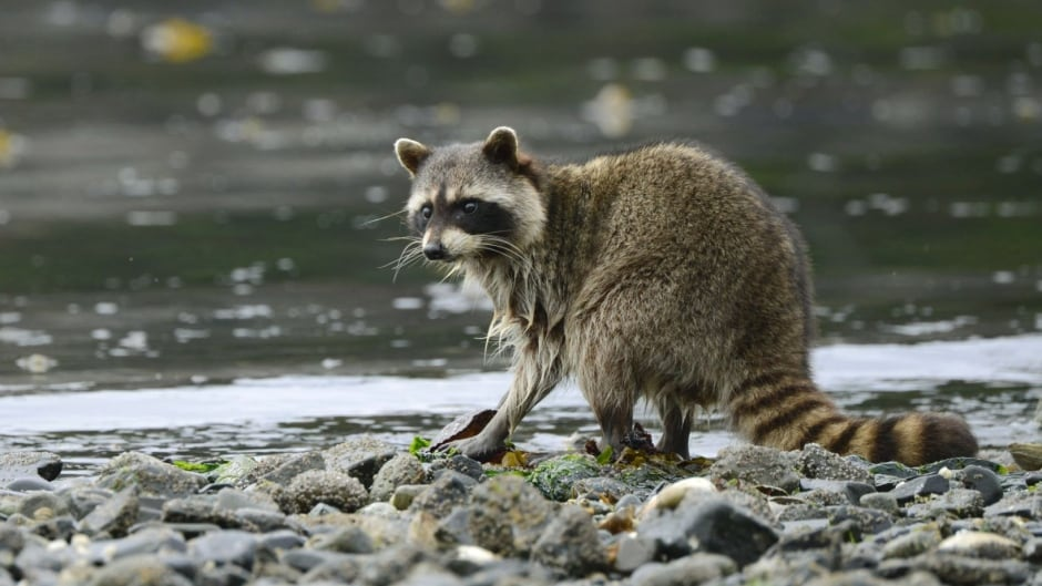 Raccoon foraging on a beach