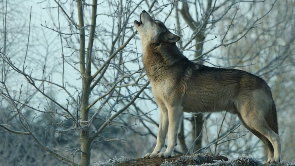 Torak the wolf howling