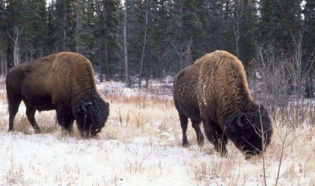 Bison eating grass along Alaska Highway