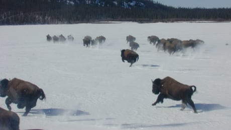 Bison running on the lake