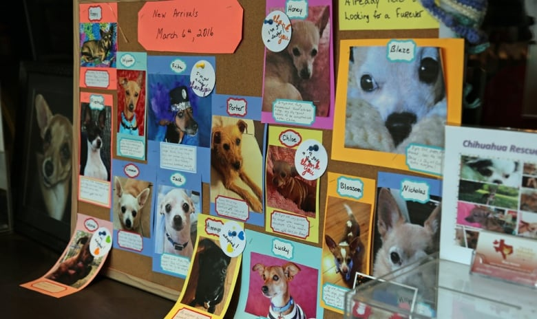 Chihuahuas rescued from Texas find homes in Hamilton   CBC News