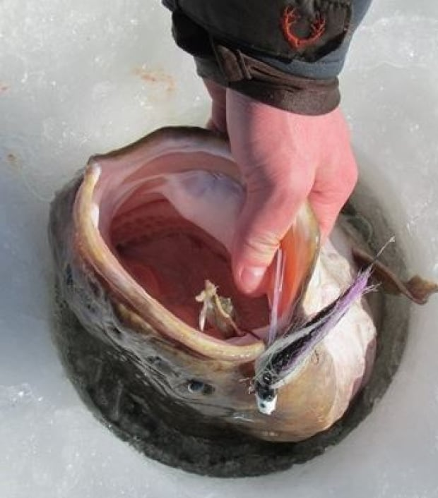 Giant burbot head in the hole