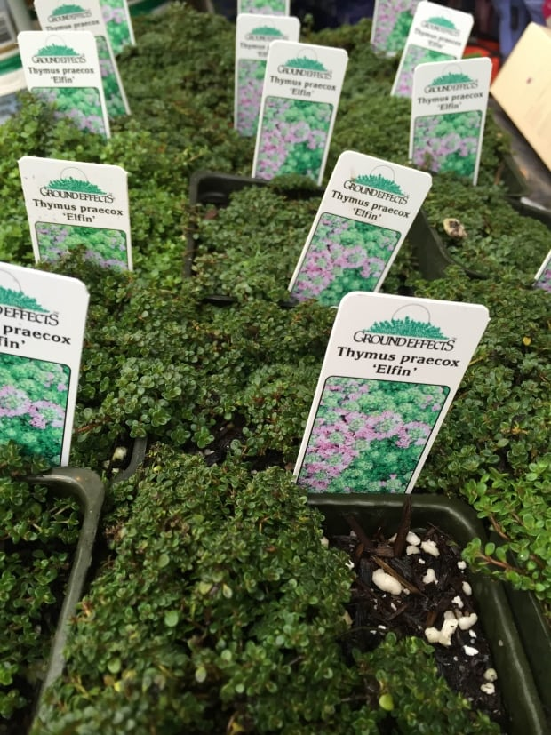 Chafer Thyme