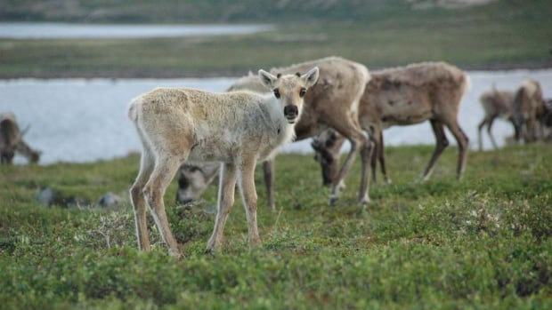 Caribou from the Bathurst herd in August. A Nunavut government policy reversal threatens to expose caribou calving grounds to development.