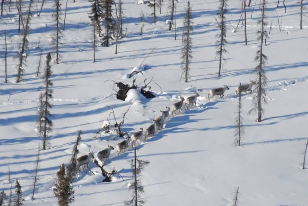 Bathurst caribou on the move in snow