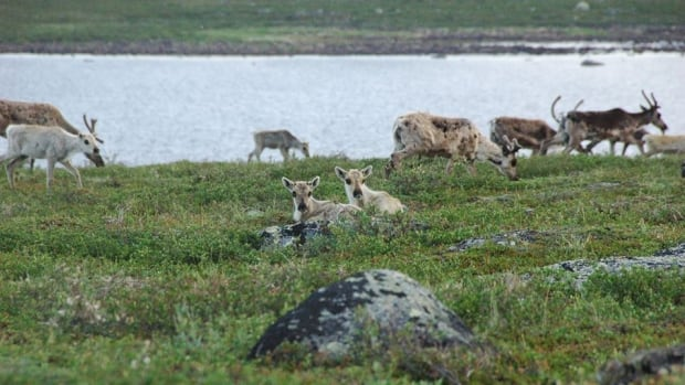 Bathurst caribou on the calving grounds in Nunavut. The herd migrates annually between Nunavut and the N.W.T. Several communities in the N.W.T. have faced hardships after the aboriginal hunt was banned in that territory in 2010, due to declining numbers in the herd.