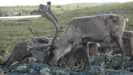Bathurst bull caribou