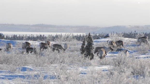 Caribou are concentrated in Tadoule Lake, Man. and attracting Dene hunters from Saskatchewan and commercial hunters from the south, said Chief Ernie Bussidor.