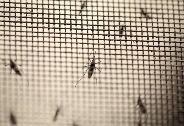 mosquitos zika