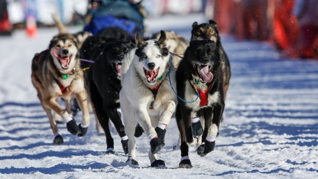 A dog team leaves the start chute of the Iditarod Trail Sled Dog Race in Willow, Alaska on March 6.