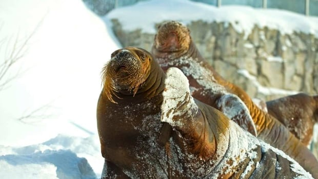 There have been only six baby walruses born in North American zoos since 1930.