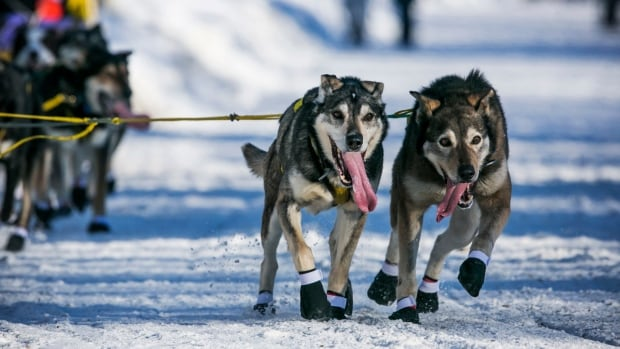 Hans Gatt's lead dogs head into a turn just after leaving the official restart of the Iditarod dog sled race in Willow, Alaska, in March 2014.