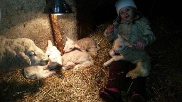 This Finnsheep gave birth to quadruplets.