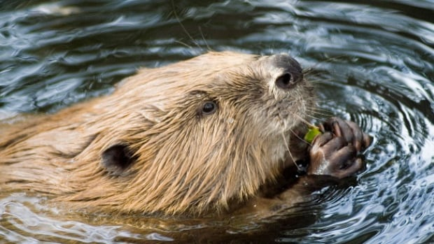 Beavers use mature trees to build their homes and younger trees as a food source.