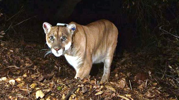 This November 2014 file photo provided by the U.S. National Park Service shows the Griffith Park, Los Angeles, mountain lion known as P-22. Officials believe P-22 made a meal of a koala found mauled to death at the L.A. Zoo.