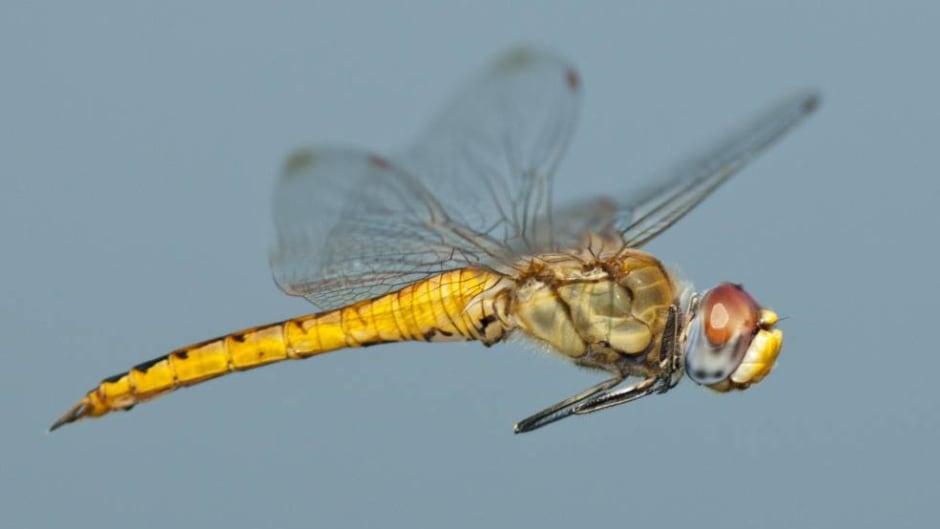 Wandering Glider (Pantala flavescens) male in flight.