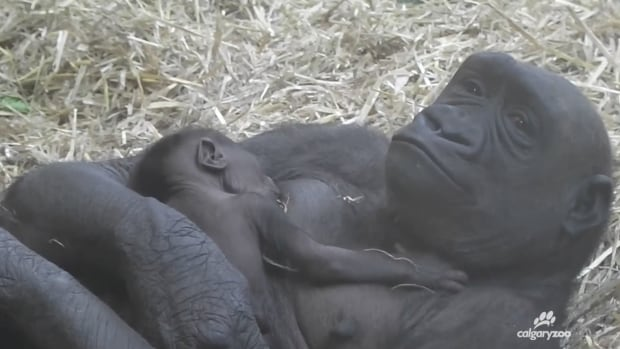 The Calgary Zoo's Kioja delivered a baby this week.