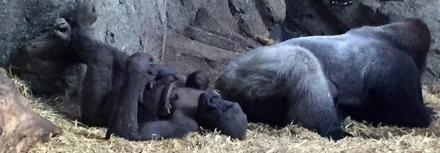 Kioja gorilla