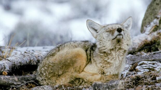 Authorities have received a complaint that 150 coyote carcasses were dumped near a reservoir in southern Alberta.