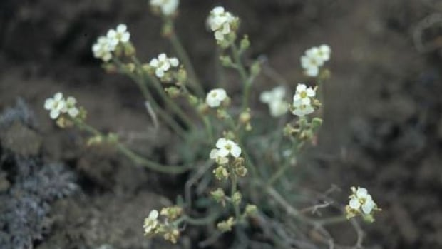 The hairy braya grows in a remote area of the Northwest Territories that remained ice-free during the last ice age.