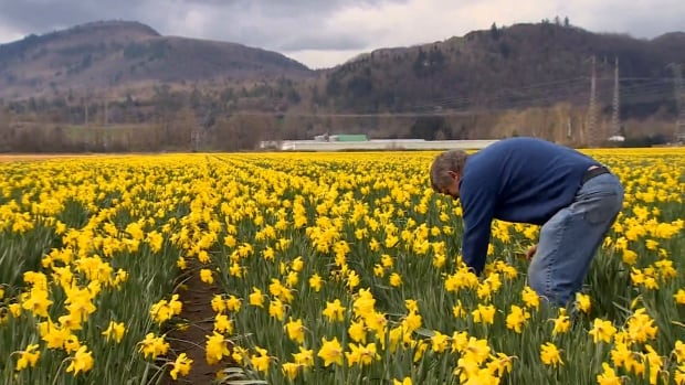 Flora Farms owner Nick Warmerdam picks daffodils at his farm in Abbotsford, B.C.