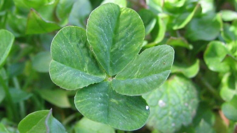 Genetics Of 4 Leaf Clovers Remain Mysterious Cbc News