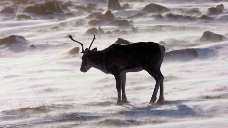 Nunavut plans to collar 55 more caribou in Kitikmeot and