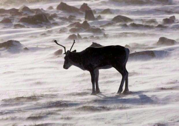 Caribou near Meadowbank Gold Mine