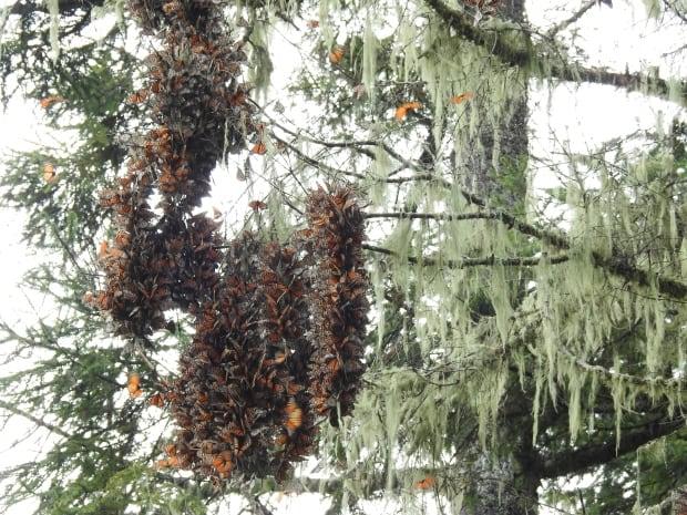 wdr-mexico-monarchs