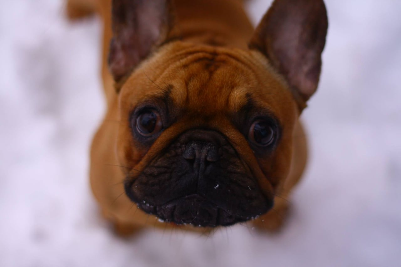 Popularity of French bulldogs has downside, say breeders
