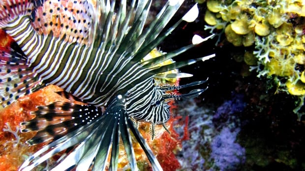 A lionfish swims near coral off the Caribbean island of Bonaire. Some chefs are putting the invasive species on their menus, even though lionfish are difficult to catch and must be individually speared.