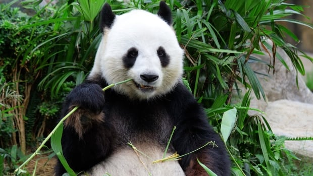The panda eats a completely vegetarian diet, so its wrist bone has evolved to help it grasp its lunch.