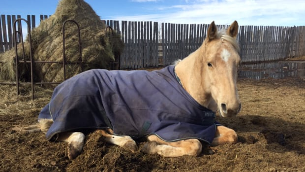 Horse Herpes Confirmed Near Saskatoon Cbc News