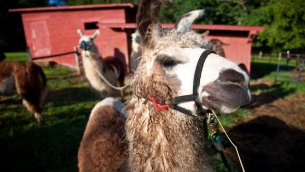 The B.C. government is considering a ban on llamas that would prevent people from taking them on hikes in the backcountry.