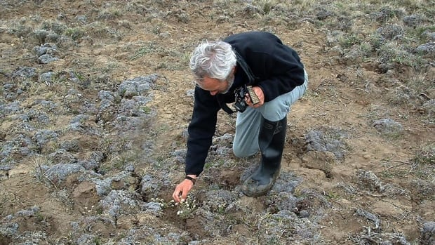 Jim Harris in 2004 when he first discovered the hairy braya on the Cape Bathurst peninsula. It was journals from an explorer on the 1826 Franklin expedition that led Harris to where the extremely rare species are located.