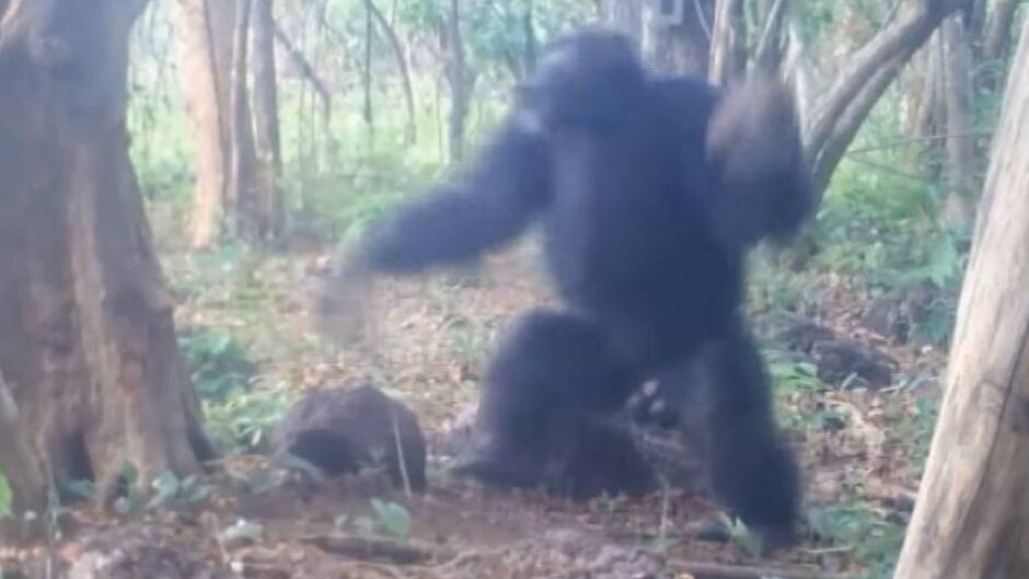 Chimpanzee prepares to throw rock at tree