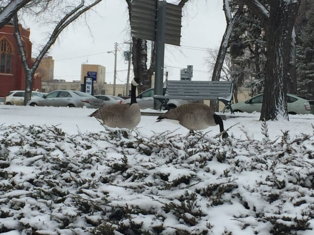 snow-geese-kinsmen-park