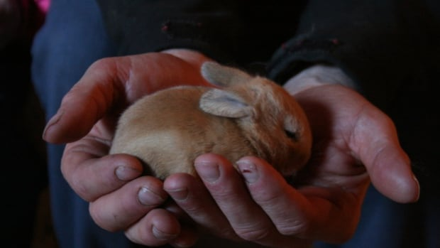 One of many baby bunnies born at Maplehurst Farms this spring.