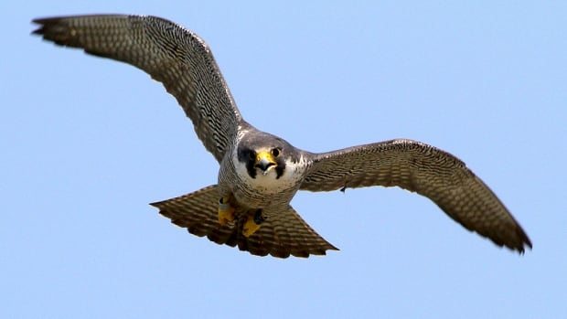 Beatrix is a female peregrine falcon who was born on a hotel ledge in downtown Winnipeg in 2011. She was recently found injured in Dallas on her flight back to Canada for the summer.