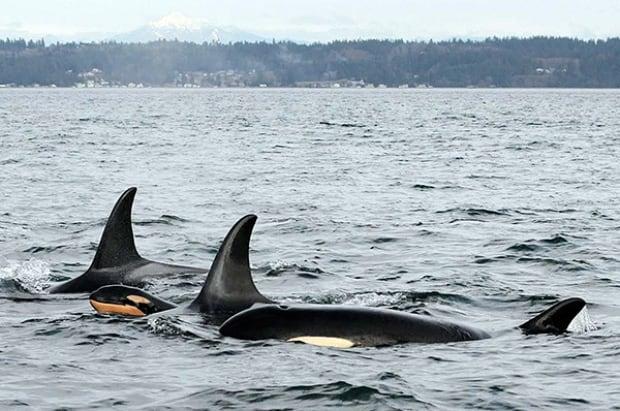 New orca calf