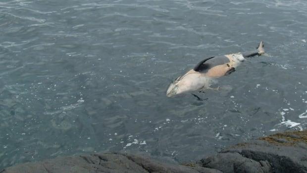 A dead killer whale calf floats in the water near Sooke, B.C.